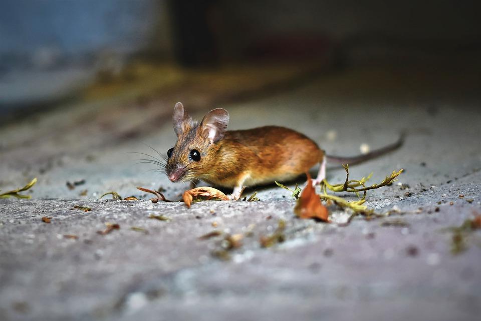 Tenez les rats à l'écart : Vous devriez considérer ceci